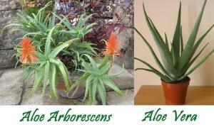 aloe arborescens vs aloe vera