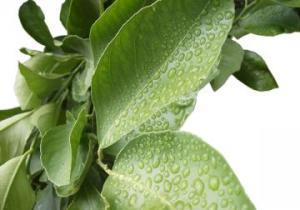 gamberoni-su-foglia-di-limone
