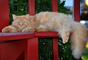 gatto-rosso-a-pelo-lungo